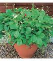 Jahodník lesní Mignonette - prodej semen jahodníku - 10 ks