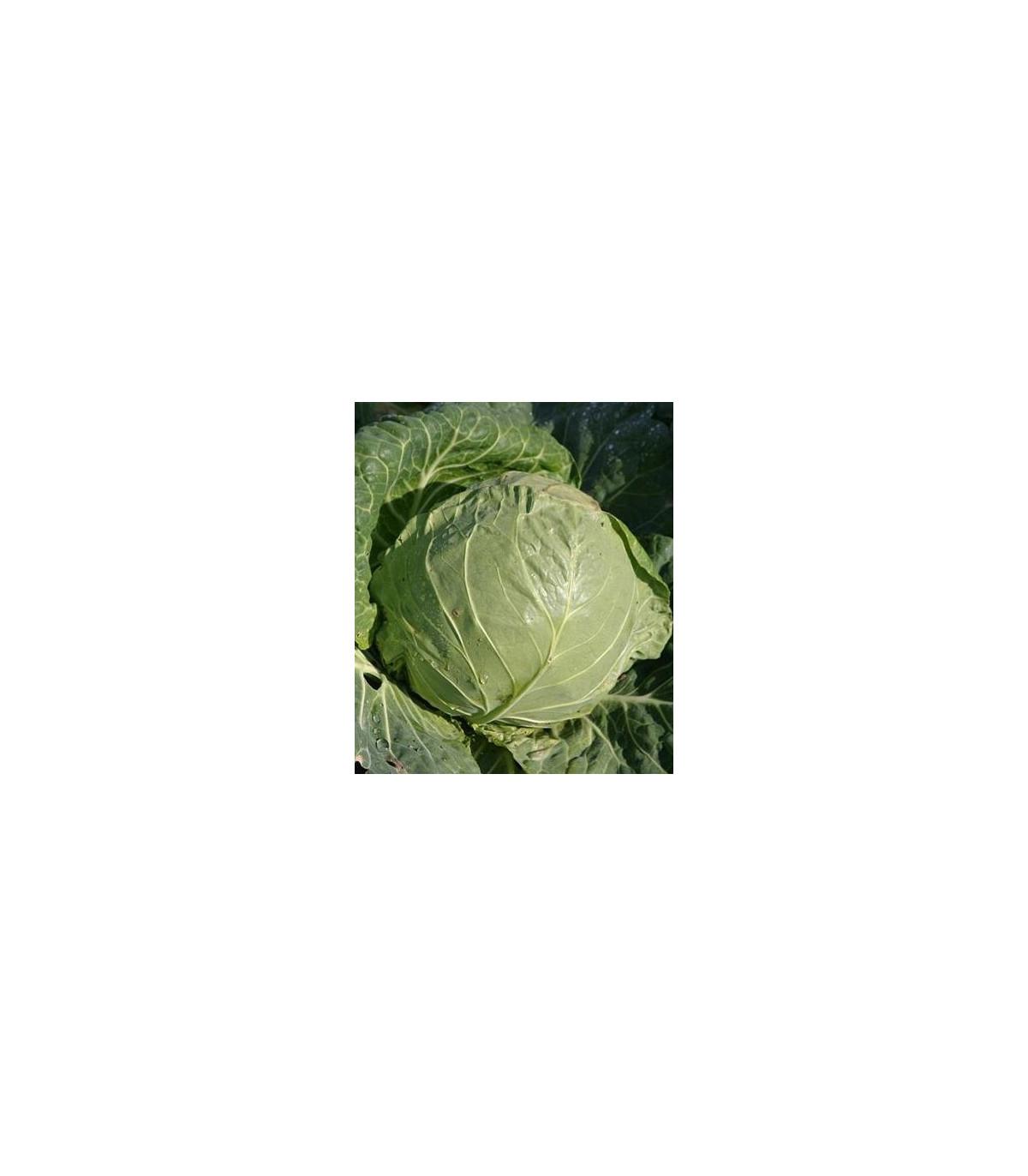 BIO Bílé zelí Premier - prodej bio semen - Brassica oleracea - 0,3 gr