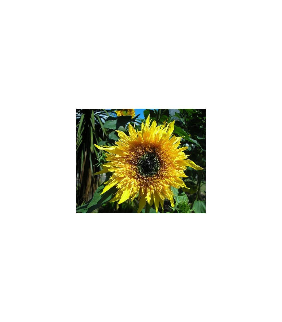 Slunečnice F1 Surprise - Helianthus annuus- semena Slunečnice - 7 ks