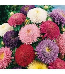 More about Astra čínská Princezna směs barev - semena Astry- 1 gr