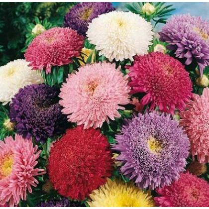 Astra čínská Princezna směs barev - semena Astry- 1 gr