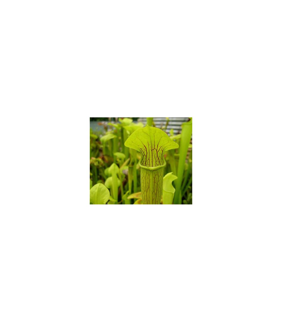 Špirlice křídlatá - masožravka Sarracenia alata - prodej semen špirlice - 12 ks