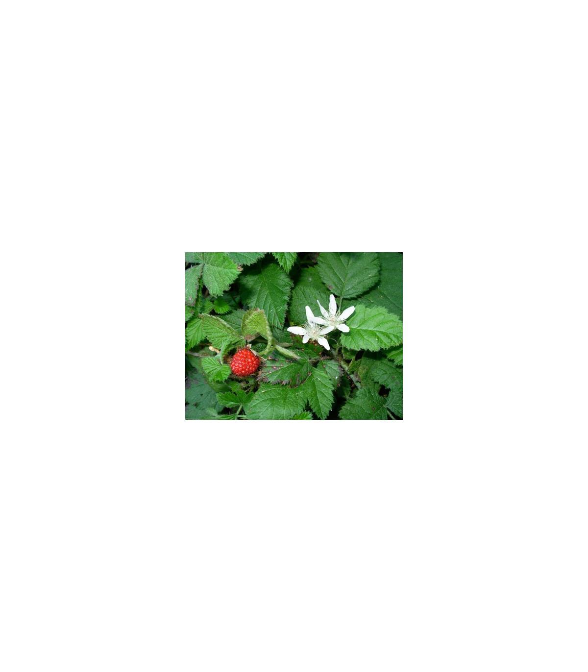 Ostružiník- Maliník- semena Ostružiníku- 5 ks