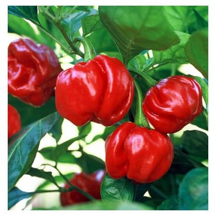 Chilli- Trinidad- semena Chilli- 6 ks