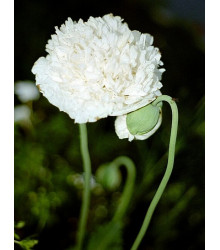 Mák setý bílý - Papaver paeoniflorum - semena máku - 0,1 gr
