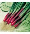 Cibule jarní červená Redmate - semena cibule - 1 gr
