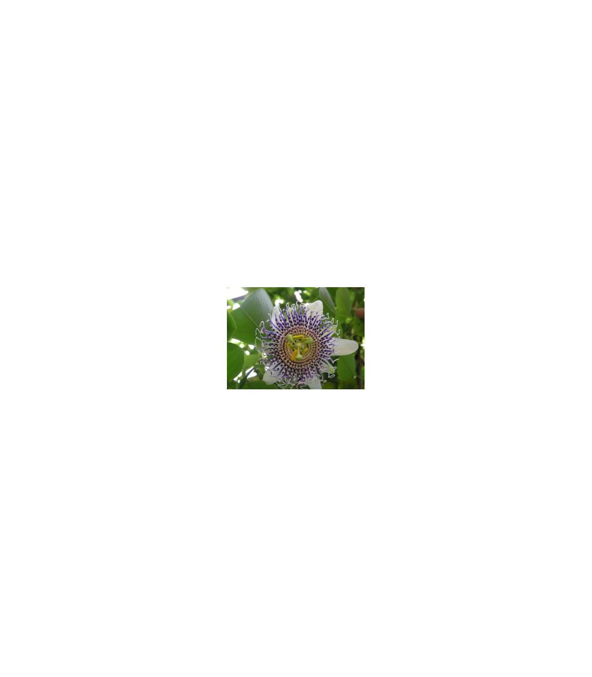 Mučenka křídlatá - Passiflora actinia - prodej semen - 4 ks
