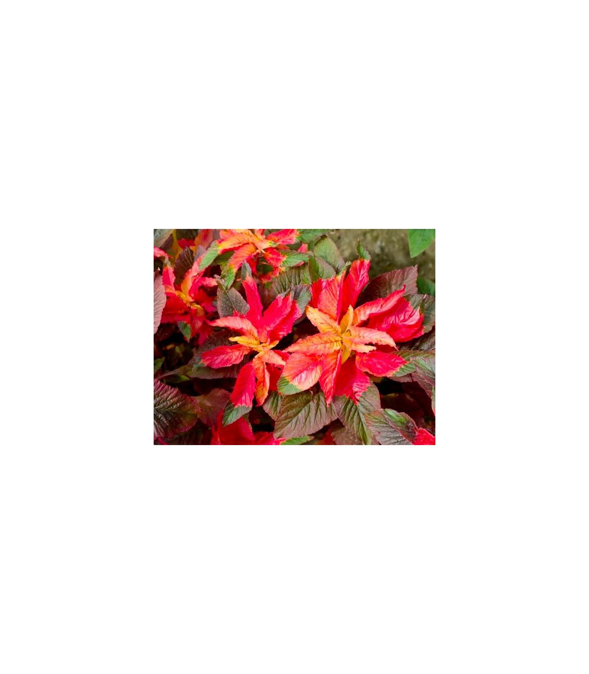 Laskavec tricolor - Amaranthus tricolor - prodej semen - 0,2 gr