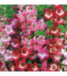 Dračík Hartwegův Senzace směs - Penstemon hartwegii - prodej semen - 0,2 gr