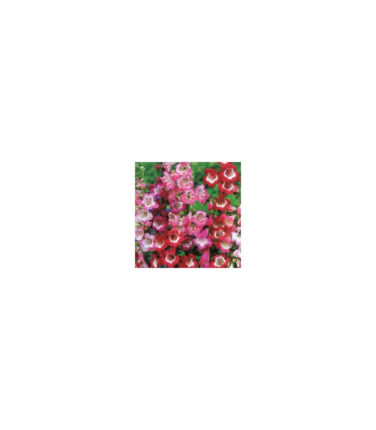 Dračík Hartwegův Senzace směs - Penstemon hartwegii - osivo dračíku - 0,2 g