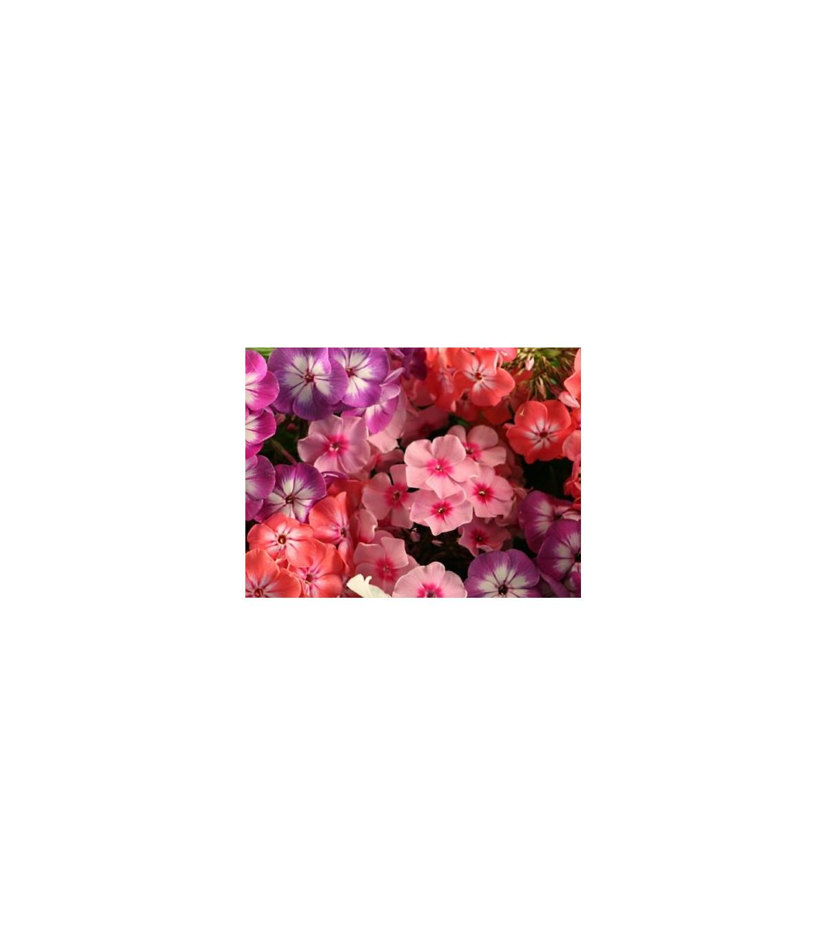 Plaménka Drummondova vysoká - směs barev  - Phlox drum.  - semena Plaménky - 0,2 gr