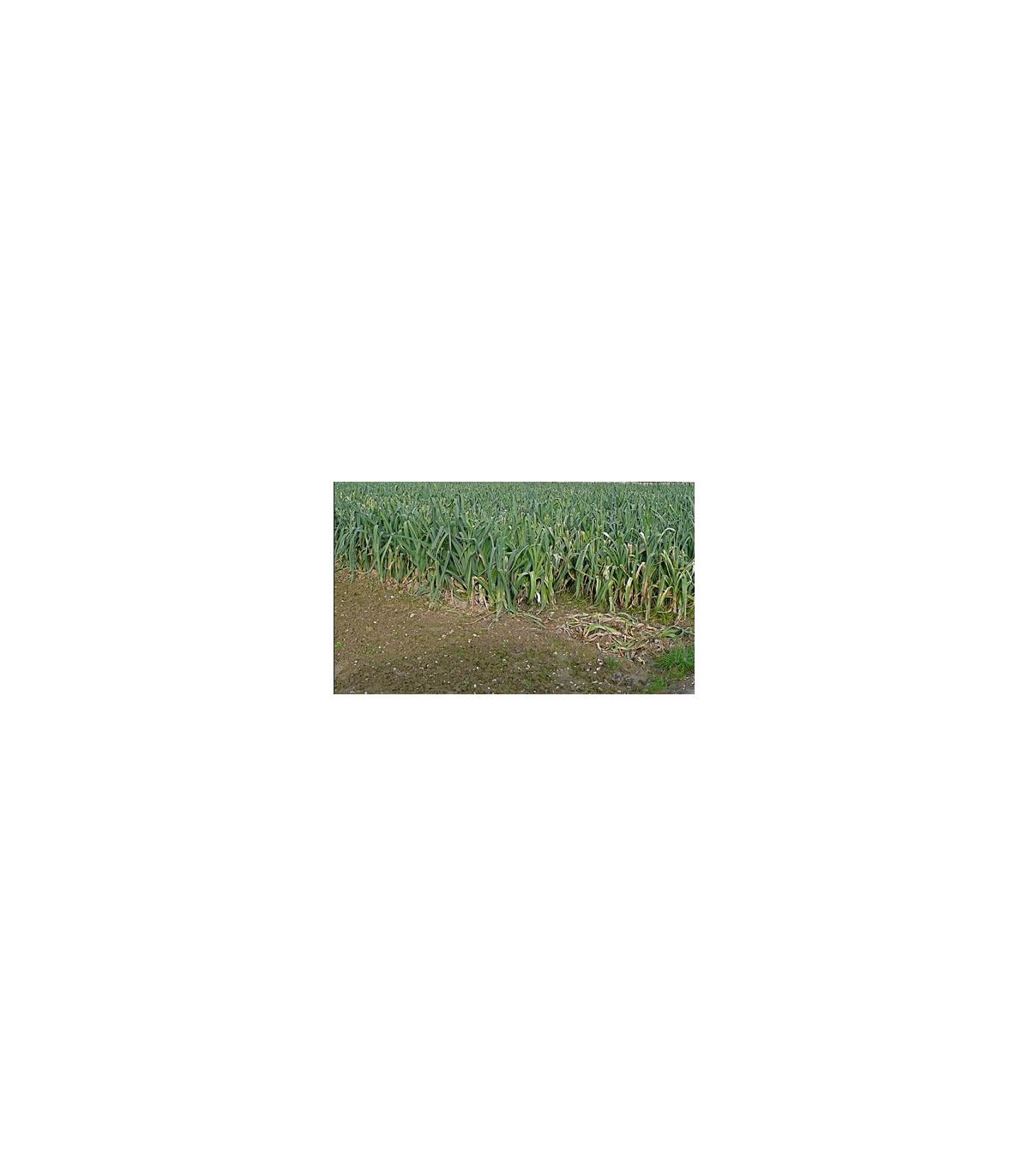 Pór Roxton F1 - prodej BIO semen póru - kvalitní bio osiva pórku - 10 ks