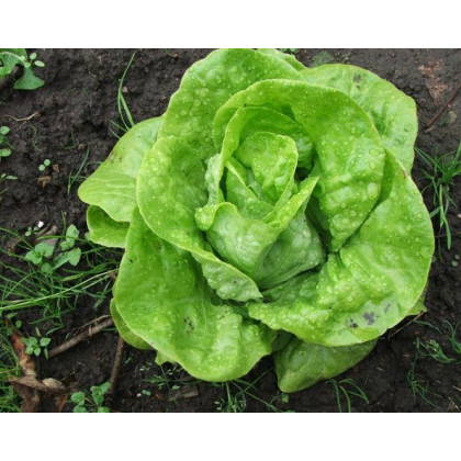 Salát hlávkový k rychlení- Lactusa sativa- semena salátu- 400 ks