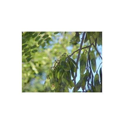 Dalbergie černá - Dalberhia nigra - prodej semen - 5 ks