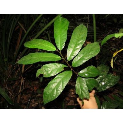 Fíkovník ribes - Ficus ribes - prodej semen - 5 ks