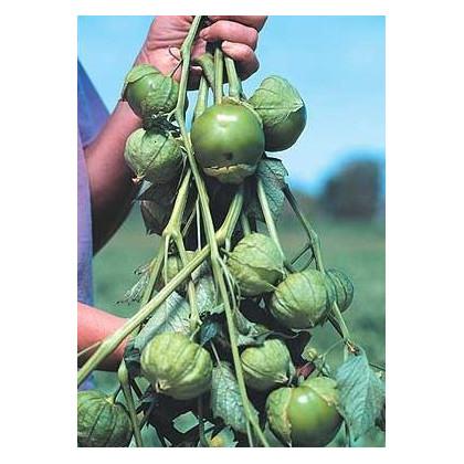 Tomatillo Cisineros - prodej semen tomatilla - 7 ks