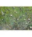 Koriandr bolívijský - Porophyllum ruderale - prodej semen - 10 ks