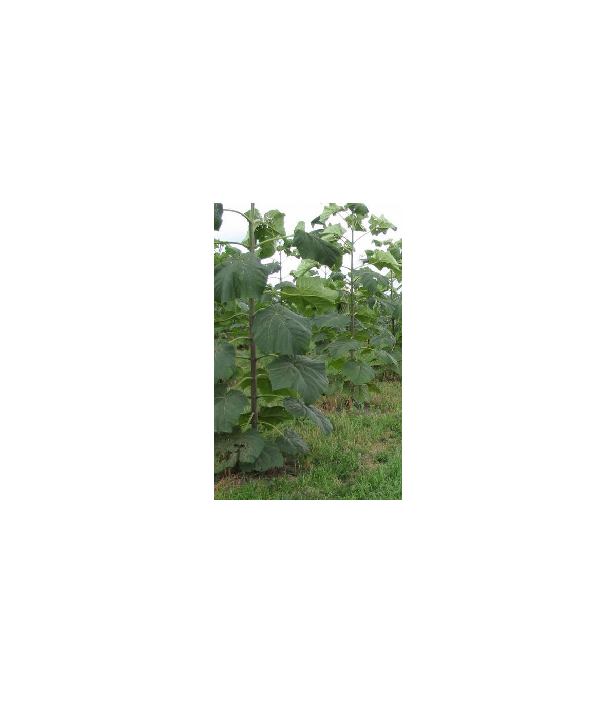 Paulovnie Biomass - Paulownia semena 15 ks