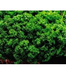 Petržel Clivi - Petroselinum crispum - semena petržele - 1 g