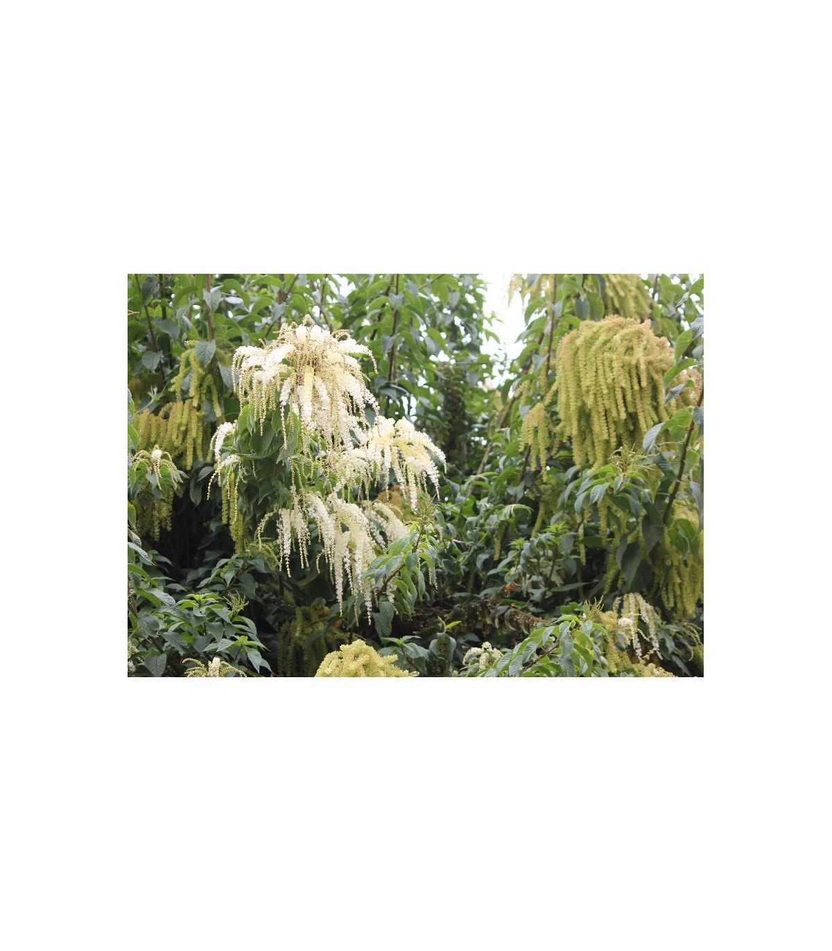 Ledenbergie peruánská - Ledenbergia peruviana - prodej semen - 8 ks