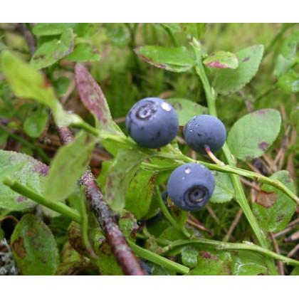 Borůvka černá - Vaccinium myrtillus - prodej semen borůvky - 7 ks