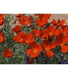 Sluncovka kalifornská červená- Eschscholzia californica - osivo sluncovky - 450 ks