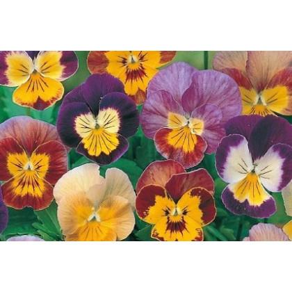 Violka rohatá směs Bambini - Viola cornuta - osivo trvalek - 0,2 gr