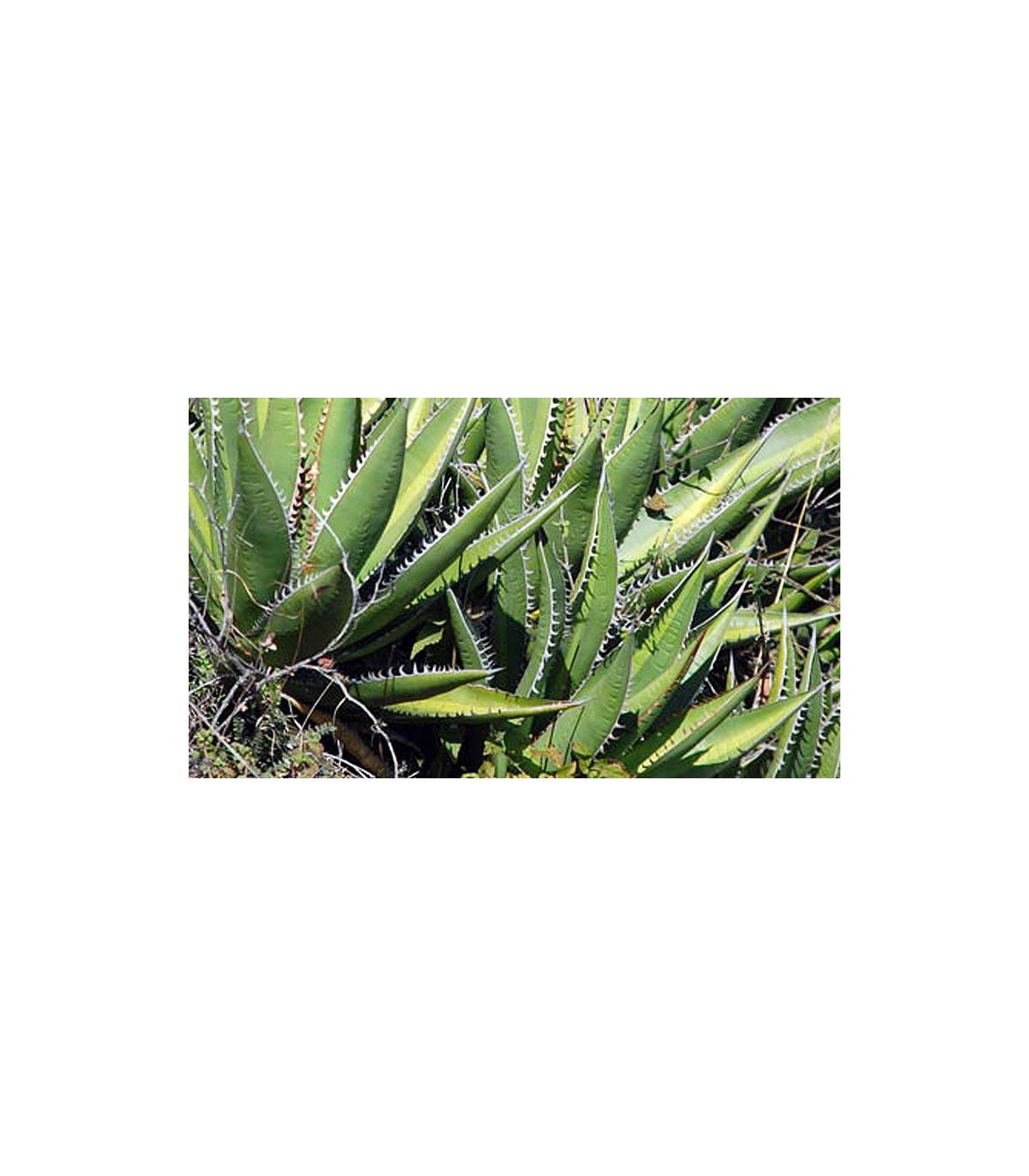 Agáve - Agave Purpurosum - semena Agáve - 10 ks