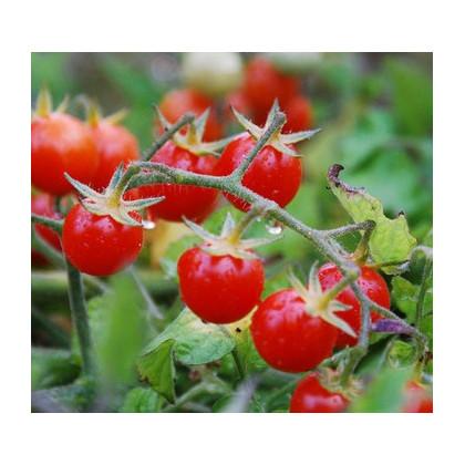 Divoké rajče řervené - Lycopersicon pimpinellifolium - prodej semen divokých rajčat - 6 ks