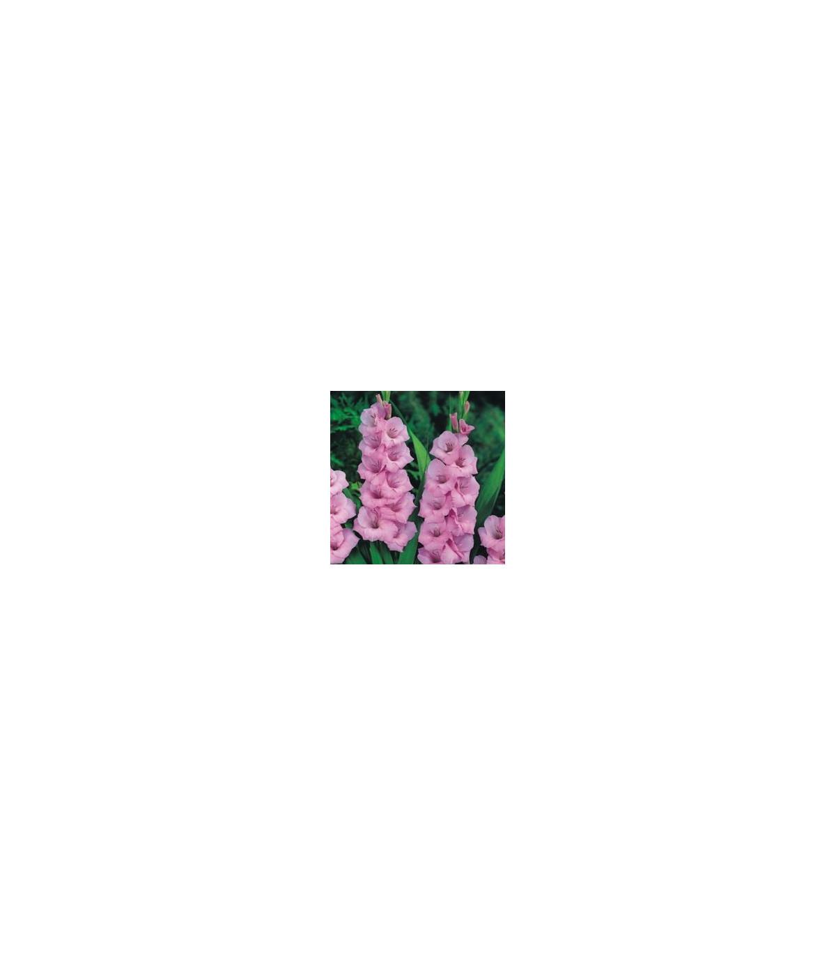 Gladiol růžový - cibule Gladiol - 3 ks