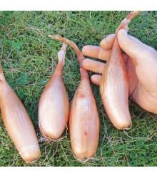 Cibule Zebrune - semena cibulky - allium cepa var aggregatum - prodej semen - 70 ks