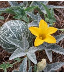 Buvolí tykev - Cucurbita foetidissima - osivo tykve - 3 ks