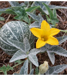 Buvolí tykev - Cucurbita foetidissima - prodej semen - 3 ks
