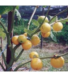 Teron Asam - Solanum lasiocarpum - prodej semen - 5 ks