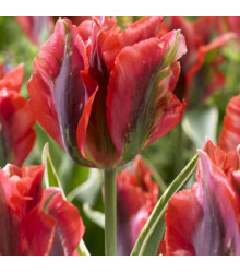 Tulipán Hollywood star - cibuloviny z Holandska - 3 ks