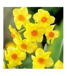 Narcis - Trelawney zlatý - prodej cibulovin - 3 ks
