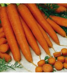 Mrkev raná Gonsenheimer Treib - Daucus carota - osivo mrkve - 1 gr