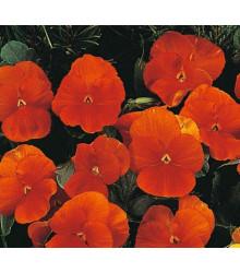 Maceška Padparadja F2 - Viola wittrockiana - prodej semen macešek - 30 Ks