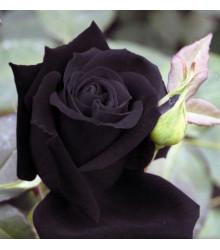 Růže černá - Maroon - prodej semen růží - semena - 5 ks