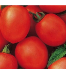 Rajče Salus - keříčkové - Solanum lycopersicum L. - prodej semen rajčat - 7 ks