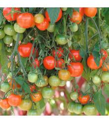 Převislé rajče Tom Red - Lycopersicon Esculentum - semena rajčat - 8 ks