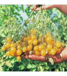 Rajče tyčkové Ildi - Lycopersicon Esculentum - semena převislých rajčat - 10 Ks
