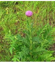 Maralí kořen - Leuzea carthamoides - semena Leuzei - 1,5 gr