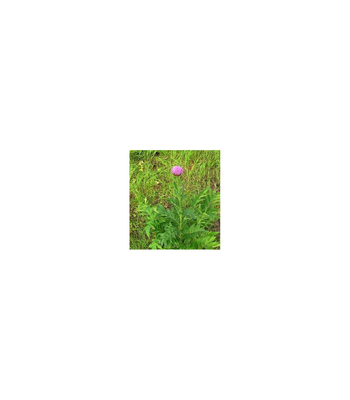 Maralí kořen- Leuzea carthamoides- semena Leuzei- 60 ks