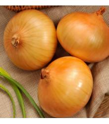Cibule ozimá Senshyu Yellow - Allium  semena cibule - 0,4 gr