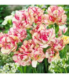 Tulipán Beblicia - prodej cibulovin - holandské tulipány - 3 ks