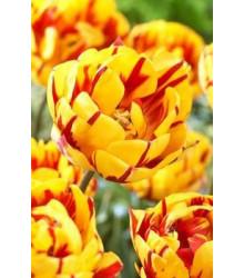 Tulipán Golden Nizza - prodej cibulovin - holandské tulipány - 3 ks