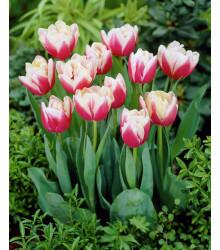 Tulipán Wirosa - prodej cibulovin - holandské tulipány - 3 ks