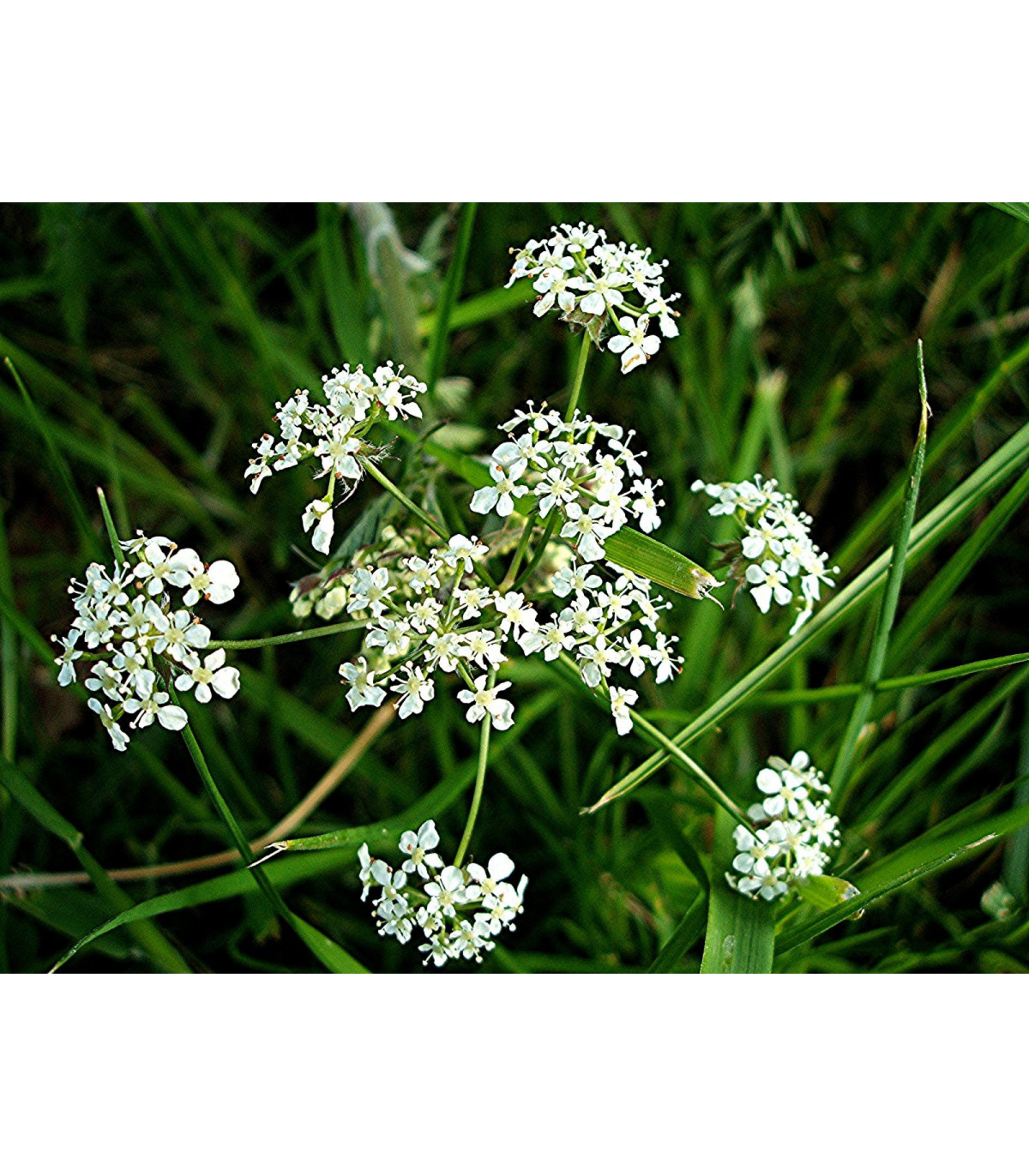 BIO semena kerblík setý - prodej bio semen - Anthriscus - prodej bio semen cerefolium - 0,8 g