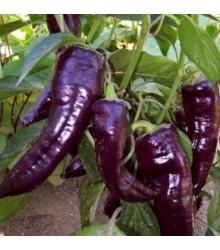 Paprika Marconi Purple - sladká paprika - 10 Ks